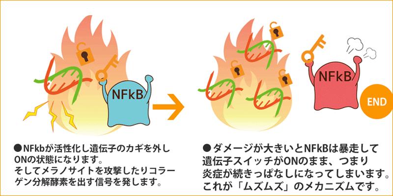 キチンナノファイバーでNF-kbの暴走を抑える